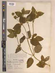 Mentha aquatica herbarium specimen from Pebmarsh, VC19 North Essex in 1934 by George Charles Brown.