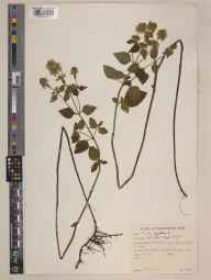 Mentha aquatica herbarium specimen from Old Head, VCH27 West Mayo in 1964 by Peter Francis Hunt.