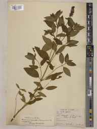 Mentha aquatica x spicata = M. x piperita herbarium specimen from Mount, VC46 Cardiganshire in 1932 by Mr Noel Yvri Sandwith.