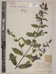 Mentha piperita var. piperita herbarium specimen from Semley, VC8 South Wiltshire in 1955 by Mr Noel Yvri Sandwith.