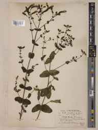 Mentha suaveolens herbarium specimen from Cardiff, Cardiff Docks, VC41 Glamorganshire in 1935 by John Patrick Micklethwait Brenan.