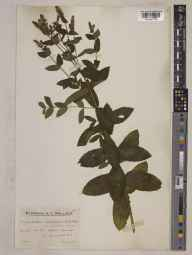 Mentha villosa var. brevifolia herbarium specimen from Exmoor, VC5 South Somerset in 1934 by Mr Edward Charles Wallace.