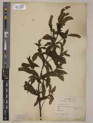 Mentha spicata herbarium specimen from Saint Ervan, VC1 West Cornwall in 1906 by Laurence Athelstan Molesworth Riley.