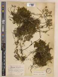 Thymus praecox subsp. arcticus herbarium specimen from Saint Ouen's Bay, Jersey, VC113 Channel Islands in 1935 by Robert Louis Proudlock.