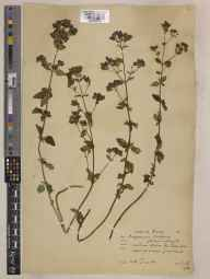 Origanum vulgare herbarium specimen from Box Hill, VC17 Surrey in 1932 by William Bertram Turrill.