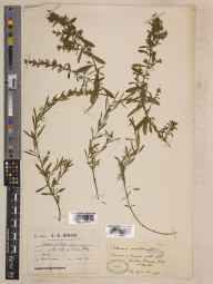 Satureja montana herbarium specimen from Beaulieu Abbey, VC11 South Hampshire in 1920 by Mr James Cosmo Melvill.