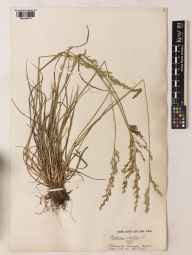 Festuca arundinacea herbarium specimen from Stanmore Common, VC21 Middlesex in 1911 by William Bertram Turrill.
