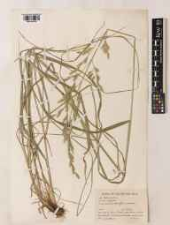 Festuca arundinacea herbarium specimen from Cassington, VC23 Oxfordshire in 1942 by Charles Edward Hubbard.