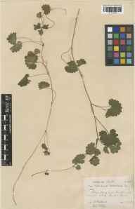 Glechoma hederacea herbarium specimen from Sark Gouliot Caves, VC113 Channel Islands in 1928 by E A Golby.