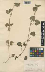 Glechoma hederacea herbarium specimen from Rumney, VC35 Monmouthshire in 1928 by Mr Arthur Edward Wade.