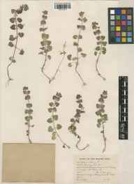 Glechoma hederacea herbarium specimen from Stallingdown Common, VC41 Glamorganshire in 1949 by Patricia Lewis.