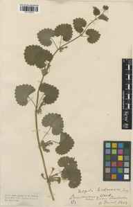 Glechoma hederacea herbarium specimen from Lamorran Wood, VC2 East Cornwall in 1913 by Mr Edgar Thurston.