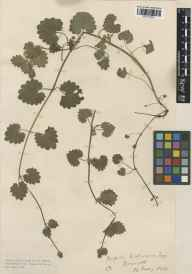 Glechoma hederacea herbarium specimen from Boscastle, VC2 East Cornwall in 1915 by Mr Edgar Thurston.