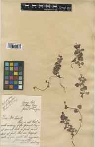 Glechoma hederacea herbarium specimen from Saint Mary Cray, VC16 West Kent in 1930 by Lilian Snelling.