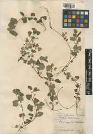 Glechoma hederacea herbarium specimen from Frogmore, VC22 Berkshire in 1932 by Charles Edward Hubbard.