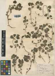 Glechoma hederacea herbarium specimen from Ilminster, VC5 South Somerset in 1931 by E A Allen.