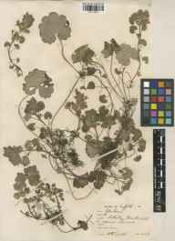 Glechoma hederacea herbarium specimen from Sotterley, VC25 East Suffolk in 1938 by William Bertram Turrill.
