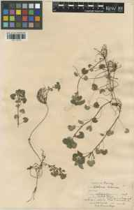 Glechoma hederacea herbarium specimen from Crabtree Cottage, VC17 Surrey in 1928 by William Bertram Turrill.