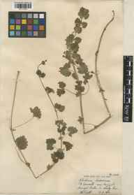 Glechoma hederacea herbarium specimen from Nanjizal, VC1 West Cornwall in 1932 by William Bertram Turrill.