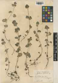 Glechoma hederacea herbarium specimen from Woodstock, VC23 Oxfordshire in 1935 by William Bertram Turrill.