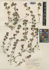 Glechoma hederacea herbarium specimen from Oxford, VC23 Oxfordshire in 1941 by William Bertram Turrill.