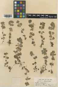 Glechoma hederacea herbarium specimen from Wytham, VC22 Berkshire in 1919 by Mr George Claridge Druce.