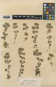 Glechoma hederacea herbarium specimen from Wytham, VC22,VC23 in 1919 by Mr George Claridge Druce.