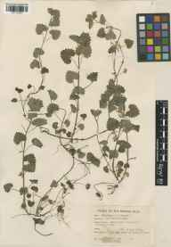 Glechoma hederacea herbarium specimen from Bladon Heath, VC23 Oxfordshire in 1944 by William Bertram Turrill.