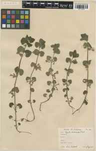 Glechoma hederacea herbarium specimen from VC21 Middlesex in 1931 by Arthur Allman Bullock.