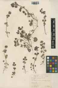Glechoma hederacea herbarium specimen from Hackhurst Downs, VC17 Surrey in 1934 by Brian Lawrence Burtt.