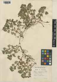 Glechoma hederacea herbarium specimen from Luton, VC30 Bedfordshire in 1946 by Peter Geoffrey Taylor.