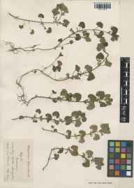 Glechoma hederacea herbarium specimen from Long Sutton, VC12 North Hampshire in 1929 by Sidney Albert Pearce.