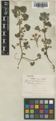 Glechoma hederacea herbarium specimen from Patching, VC13 West Sussex in 1867 by George Curling Joad.