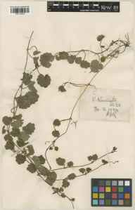 Glechoma hederacea herbarium specimen from South Newington, VC23 Oxfordshire in 1924 by Rev. Harry Joseph Riddelsdell.