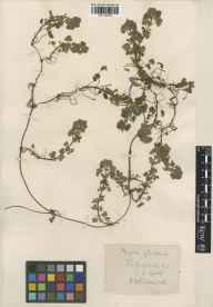 Glechoma hederacea herbarium specimen from Great Rollright, VC23 Oxfordshire in 1925 by Rev. Harry Joseph Riddelsdell.