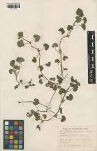 Glechoma hederacea herbarium specimen from Bruton, VC6 North Somerset in 1937 by Frederick Kirkwood Makins.