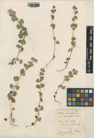 Glechoma hederacea herbarium specimen from Polperro, VC2 East Cornwall in 1928 by Mr Francis Rilstone.