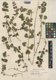Glechoma hederacea herbarium specimen from Start Point, VC3 South Devon in 1953 by William Bertram Turrill.