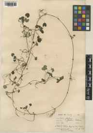 Glechoma hederacea herbarium specimen from Kew, VC17 Surrey in 1928 by William Bertram Turrill.