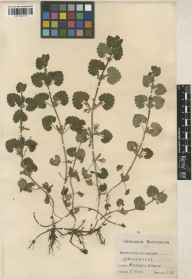 Glechoma hederacea herbarium specimen from Thames Bank in 1928 by C Rudd.