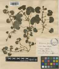 Glechoma hederacea herbarium specimen from River Thames in 1912 by John Divers.