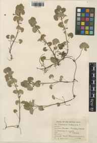 Glechoma hederacea herbarium specimen from Bagley Wood, VC22 Berkshire in 1944 by Francis Ballard.