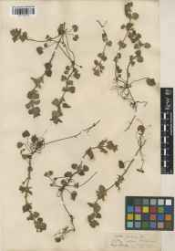 Glechoma hederacea herbarium specimen from Hitchin, VC20 Hertfordshire in 1900 by Charles Baron Clarke.