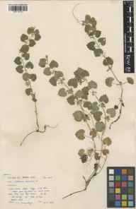 Glechoma hederacea herbarium specimen from Glen Maye, VC71 Isle of Man in 1950 by Mr Victor Samuel Summerhayes.