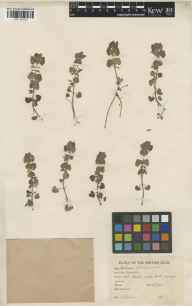 Glechoma hederacea herbarium specimen from Bladon Heath, VC23 Oxfordshire in 1944 by Charles Edward Hubbard.