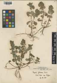Glechoma hederacea herbarium specimen from Wood Eaton, VC23 Oxfordshire in 1895.