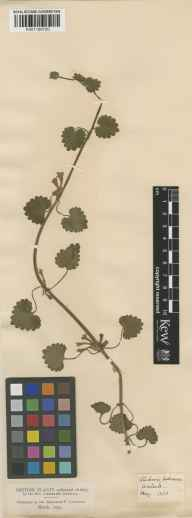 Glechoma hederacea herbarium specimen from Wallsall, VC39 Staffordshire in 1830 by Rev Leicester Darwall.