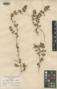 Glechoma hederacea herbarium specimen from Axmouth, VC3 South Devon in 1930 by Charles Henry Wright.