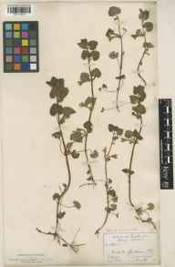 Glechoma hederacea herbarium specimen from Long Ditton, VC17 Surrey in 1887 by James Sykes Gamble.