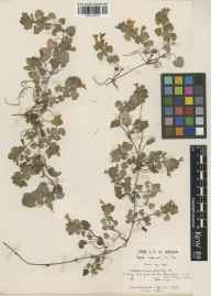 Glechoma hederacea herbarium specimen from Coln Saint Aldwyn, VC33 East Gloucestershire in 1941 by Ronald Burn.